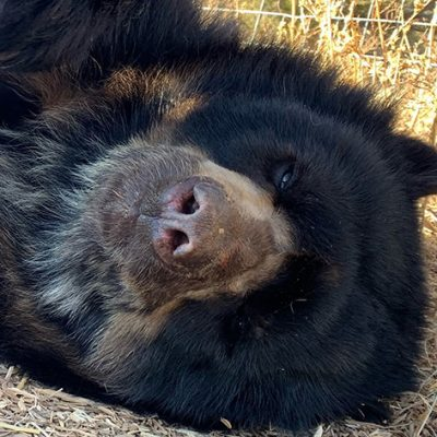 Rare Spectacled Bears Now In Unimaginable New Home