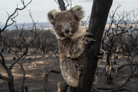 IFAW Calls For Emergency Protections For Koalas After Report Reveals True Impact Of Australia's Bushfires
