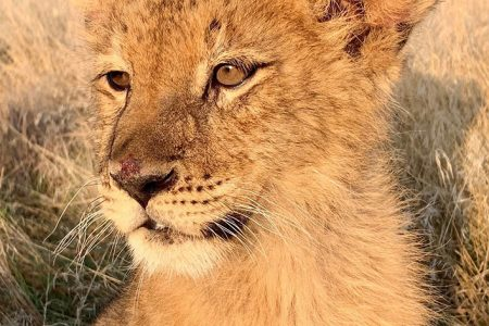 The Wild Animal Sanctuary Rescues 17 Lions, Tigers and Hybrids and Two Brown Bears from Notorious Roadside Zoos