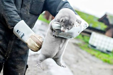 International Fur Federation Statement on Denmark Mink Cull