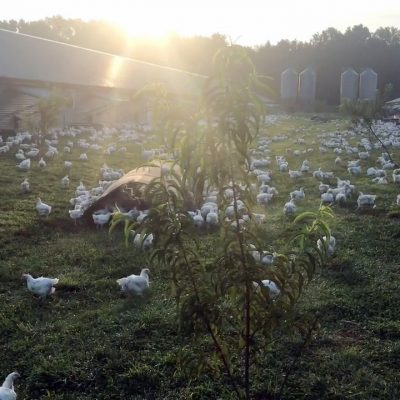 Perdue Taps Farmers' Knowledge and Experience in Getting the Most Birds Outside Into Free-Range Pastures