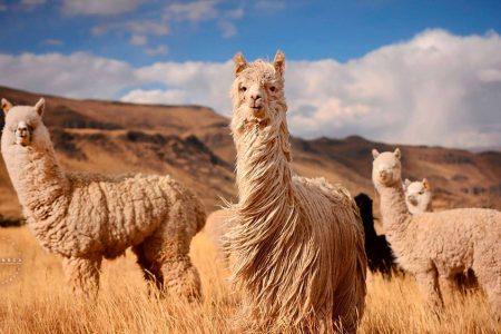 Alpaca del Peru: Where Luxury Fashion Meets Sustainability