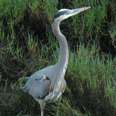 Lawsuit Filed Against California Dept of Fish & Wildlife for Approving Ballona Wetlands