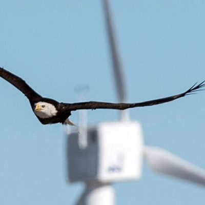 Eagle Fatalities in Wind Farms Greatly Reduced by Using Artificial Intelligence