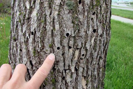 The City of Dallas' Strategic Action Against an Impending Ash Tree Infestation