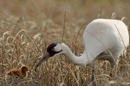 Whooping Cranes Steer Clear of Wind Turbines When Selecting Stopover Sites