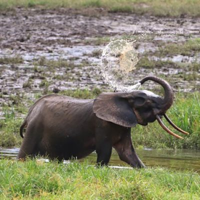 Forest Elephants Are Now Critically Endangered – Here's How to Count Them