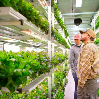 AmplifiedAg Farms Sustainably Grow Consistent Yields of 800-1000 Pounds of Full Head Leafy Greens Per Harvest Every 3 Weeks