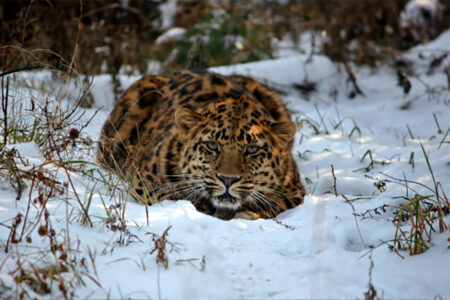 Genetic Analysis of Leopards Revises Current Interpretation of Their Natural History, Migrations, and Future Vulnerability