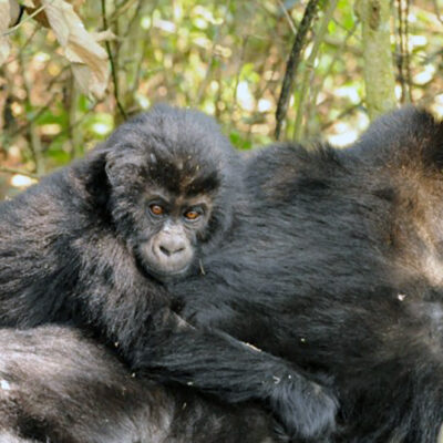 Hope for Critically Endangered Gorillas in Eastern Democratic Republic of Congo