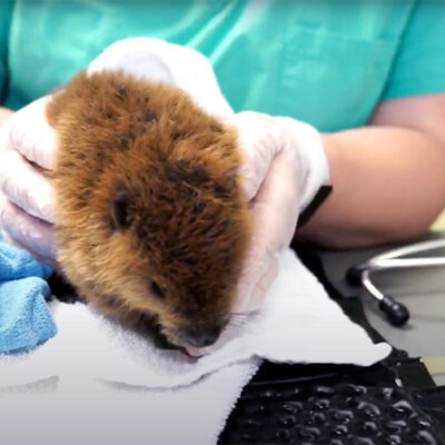Orphaned Baby Beavers Crisscross NYS for Treatment at Cornell