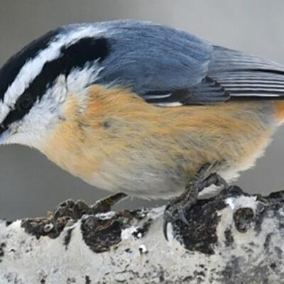 Polar Vortex, Winter Heat May Change Bird Populations