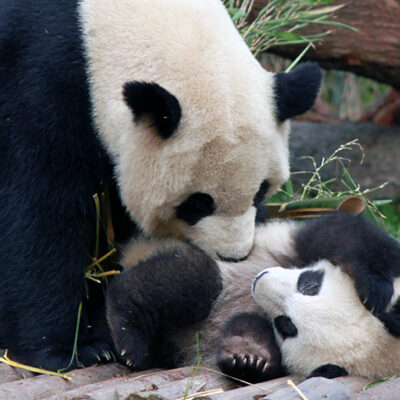 Giant Pandas Status Downgraded From 'Endangered' to 'Vulnerable'