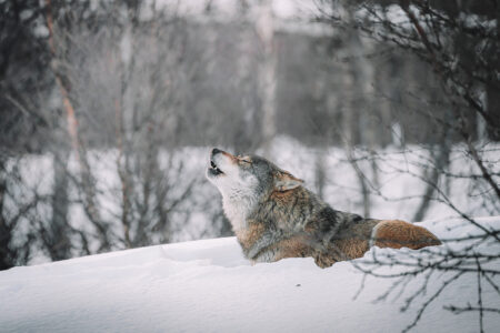 Hunting, Hidden Deaths Led to Estimated 30% Reduction in Wisconsin's Wolf Population