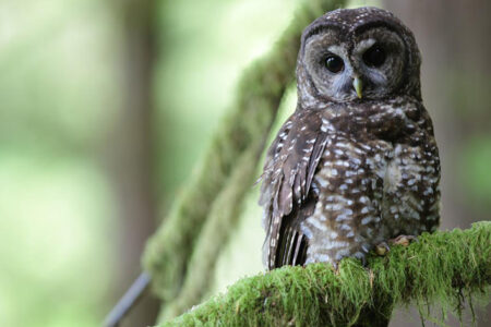 Removal of Barred Owls Slows Decline of Iconic Spotted Owls in Pacific Northwest