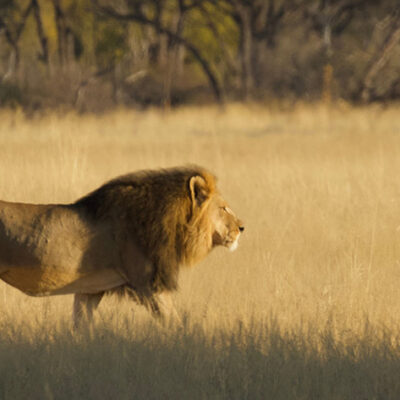 Another Majestic Lion Was Killed in Zimbabwe, Allegedly by an American Hunter