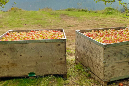 The Endangered California Gravenstein Apple Goes National for a Limited Time
